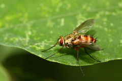 Muscidae insects Stock Images
