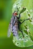Muscidaemuscadomestica i ett blad Arkivbild