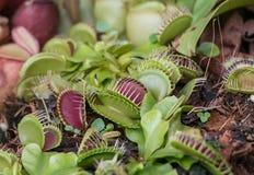 Muscipula del Dionaea Immagini Stock