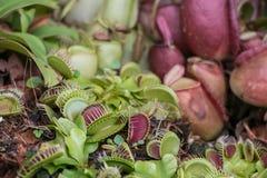 Muscipula del Dionaea Fotografia Stock