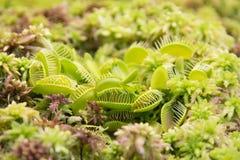 Muscipula del Dionaea del pigliamosche Fotografia Stock Libera da Diritti