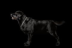 Muscle собака Лабрадора стоя в взгляде профиля, изолированном на черноте Стоковая Фотография