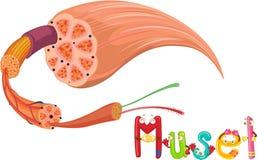 Muscle stock illustration