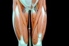 muscle photos libres de droits