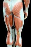 muscle photo libre de droits