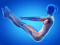 Muscle anatomy Stock Photography