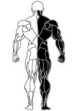 Muscle bodybuilder skeleton back view. Isolated on a white.illustration Stock Image