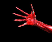 Muscle And Bone Hand 63. A close up of a skinless hand for medical or Halloween concepts Stock Photos