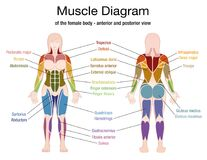 Muscle Diagram Female Body Names. Muscle diagram of the female body with accurate description of the most important muscles - front and back view -  vector Stock Photo