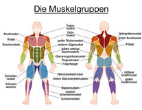 Muscle Diagram German Text Male Body. Muscle chart - GERMAN LABELING - most important muscles of the human body - colored front and back view - isolated vector Royalty Free Stock Photos