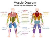 Muscle Diagram Male Body Names. Muscle diagram - most important muscles of an athletic male body - anterior and posterior view - labeled  vector illustration on Stock Images