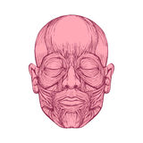 Muscle of faces, human head anatomy, Royalty Free Stock Photo