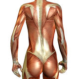 Muscle female back. 3D Render of muscle of a female back Stock Images