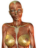 Muscle female torso. 3D rendering of the muscle of the female torso Stock Images