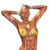 Muscle female torso. 3D Rendering of a muscle female torso Stock Photos