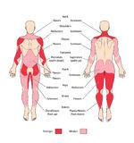 Muscle Groups And Types Stock Image
