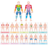 Muscle Groups Colored Chart Stock Photo