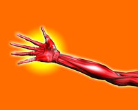 Muscle Hand. A close up of a skinless arm for medical or Halloween concepts Stock Photos