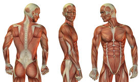 Muscle head and upper body Stock Images