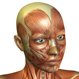 Muscle head woman. 3D rendering of muscle of the female face Stock Photo