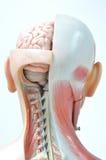 Muscle humain photos libres de droits