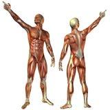 Muscle l'uomo dalla struttura anteriore e posteriore Fotografia Stock