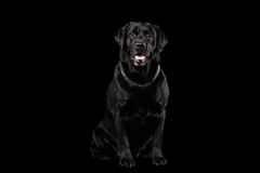Muscle Labrador Dog Sitting in Front view, Isolated on black royalty free stock photos