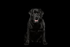 Muscle Labrador Dog Sitting, Question Looking in Camera, Front, Isolated Royalty Free Stock Photos