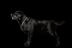Muscle Labrador Dog Standing in Profile view, Isolated on black Stock Photography