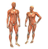 Muscle man 2 w/ clipping mask. Anatomy muscle man standing w/ clipping mask royalty free illustration