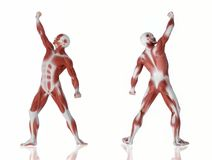 Muscle man anatomy Stock Image