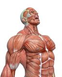 Muscle man anatomy in an white background royalty free illustration