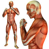 Muscle man pose in fighter. 3D rendering of the muscle man in a fighter's pose Royalty Free Stock Photo