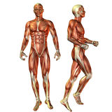 Muscle man in a standing pose. 3D render of the male muscle during a standing man Stock Image