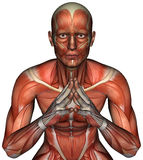 Muscle Map Man Anatomy Isolated Stock Image