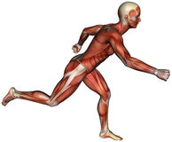 Muscle Map Man Running Isolated. Muscle map of a male or man running. The human body illustration is isolated on white Stock Photo