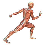 Muscle Maps Royalty Free Stock Images
