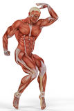 Muscle medical man ballet Stock Images