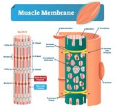 Muscle membrane vector illustration. Labeled scheme with myofibril, disc, zone, line and band. Anatomical mitochondria diagram. Muscle membrane vector vector illustration