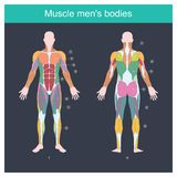 Muscle men bodies. Muscle is the part of the body that exerts, And control the movement of the internal organs. Illustration front and back side vector illustration