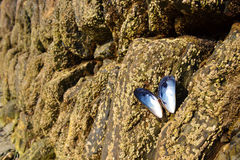 Muscle shell butterfly on rocks Stock Photos
