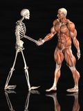 Muscle and Skeletal systems Stock Photos