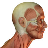 Muscle structure of head Stock Image