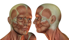Muscle structure of head man Stock Image