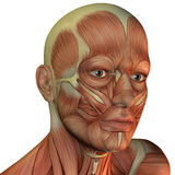 Muscle structure of male head Royalty Free Stock Photography
