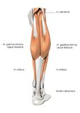 Muscle system Stock Photography