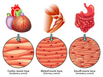Muscle tissue. Medical illustration of the various types of muscle tissue Stock Image