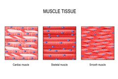 Muscle tissue: Skeletal, smooth and cardiac. Muscle tissue. Skeletal muscle, smooth in a gastrointestinal tract and cardiac muscle in a heart. Types of Muscle royalty free illustration