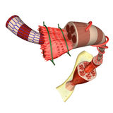 Muscle tissue royalty free illustration