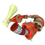 Muscle Tissue. Muscle is a soft tissue found in most animals. Muscle cells contain protein filaments of actin and myosin that slide past one another, producing a royalty free illustration